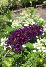 Buddleia dav. Black Knight Butterfly Bush, Black Knight, #3