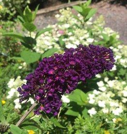 Buddleia dav. Black Knight Butterfly Bush, Black Knight, #3