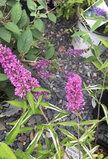 Buddleia Tutti Frutti  Dwarf Butterfly