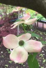 Cornus x Rutgan Dogwood - Rutger's Hybrid, Stellar Pink, 6-8