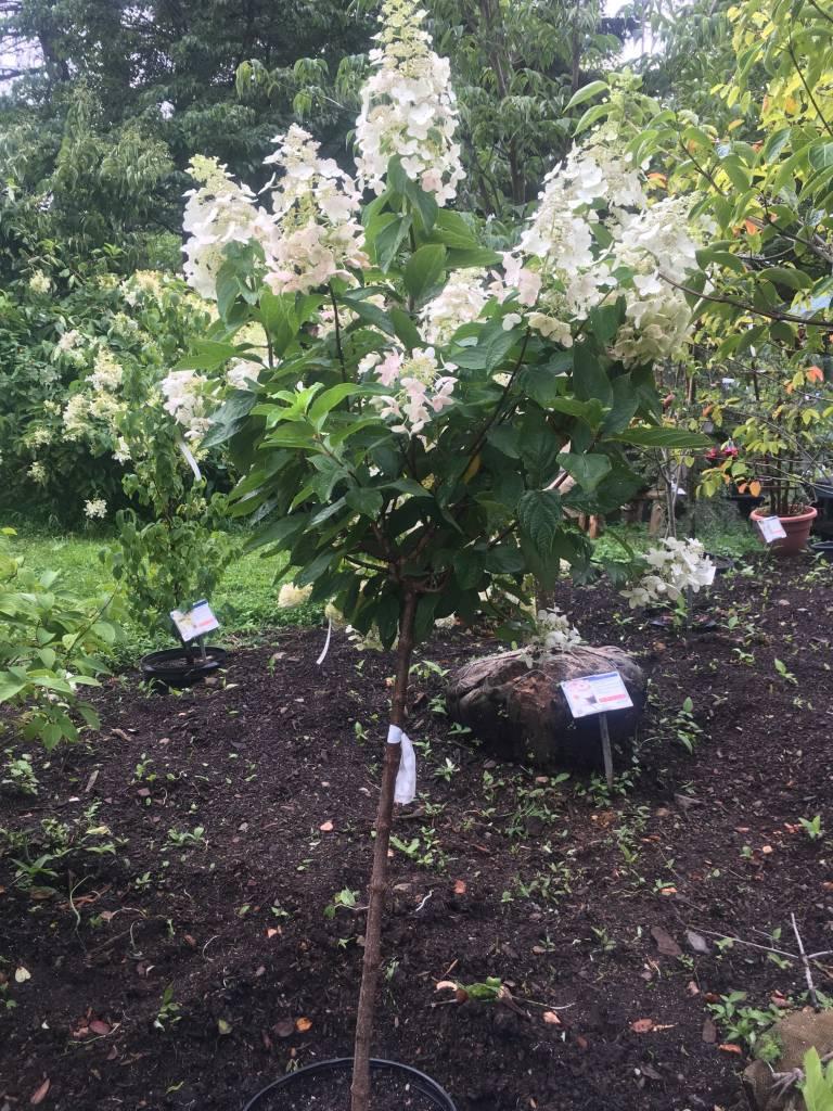 Hydrangea panic. Tardiva Hydrangea - Hardy, Tardiva treeform, #7