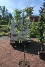 Cercis can. Covey Redbud - Eastern Weeping, Lavender Twist, #15