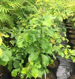 Quercus Muehlenbergii, Chinquapin Oak #3