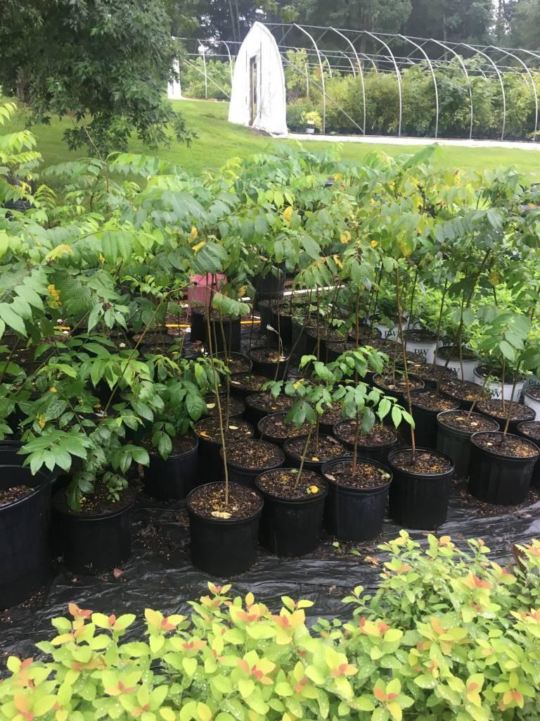 Juglans nigra, Black Walnut #3