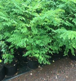 Robinia pseudoacacia, Black Locust #3