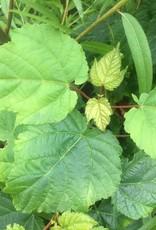 Acer pensylvanicum Maple - Striped, #3