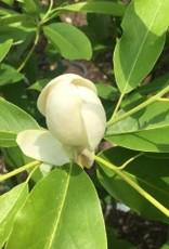 Magnolia virginiana Henry Hicks Magnolia - Sweetbay, Henry Hicks, #7