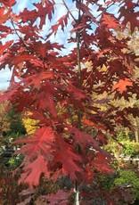 Quercus rubra Oak, Red, #10