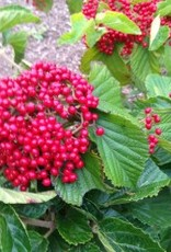 Viburnum dil. Henneke Viburnum - Linden, Cardinal Candy, #7