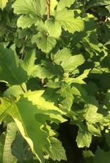 Viburnum trilobum Wentwoth Viburnum - American Cranberry Bush, Wentworth, #3