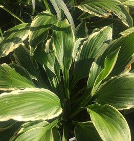 Hosta un. Albo Marginata Plantain Lily, Albo Marginata, #1