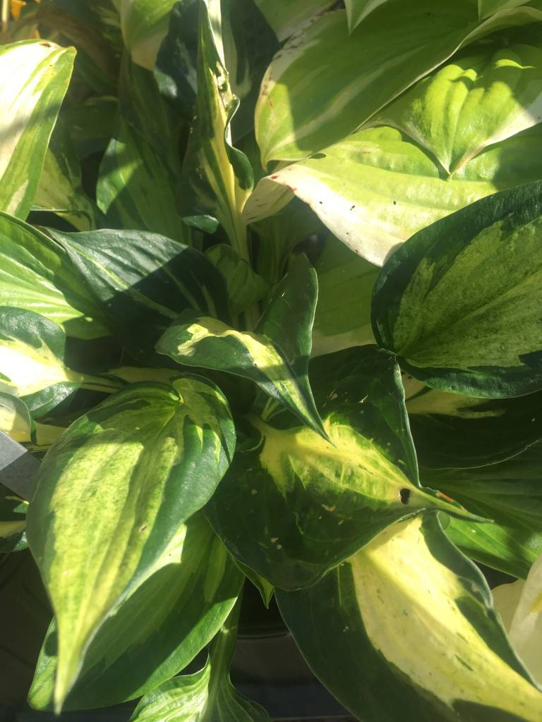 Hosta Eternal Flame Plantain Lily,  #1