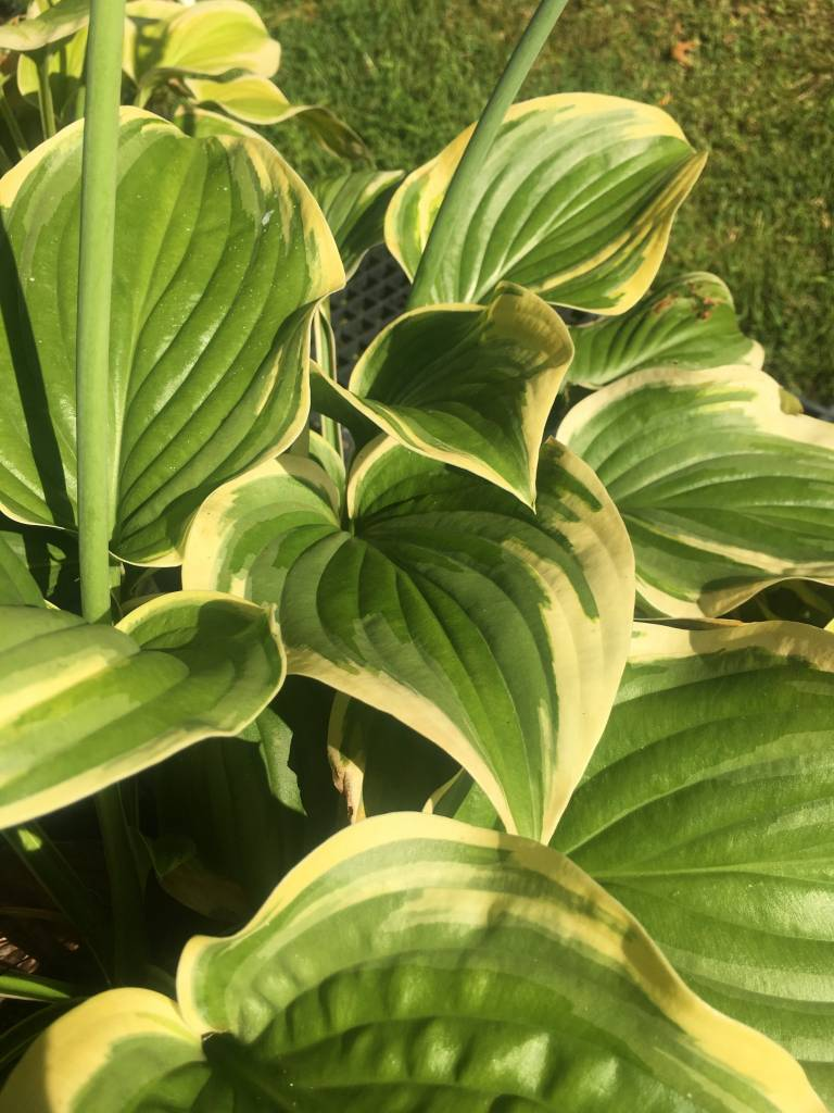 Hosta fragrant dream plantain lily 1 behmerwald nursery hosta fragrant dream plantain lily 1 izmirmasajfo