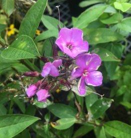 Phlox pan. Sweet Summer Temptation - Garden Phlox, #1