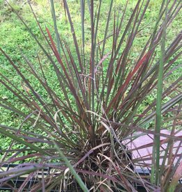 Andropogon gerardii Red October Grass - Ornamental Big Bluestem, #1
