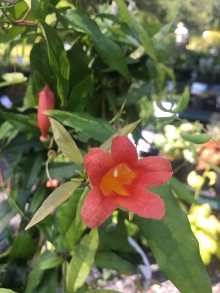 Bignonia cap. Tangerine Beauty Crossvine,#1