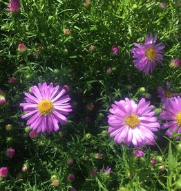 Aster dum. Wood's Pink Aster, Wood's Pink, #1