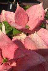 Cornus kousa x Rosy Teacups Dogwood - Kousa x nuttallii Rosy Teacups, #15