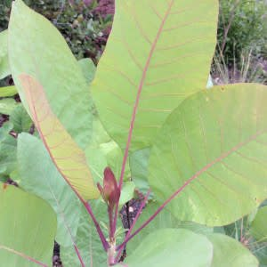 Cotinus obovatus Smoketree, American, #7