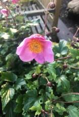 Anemone Lucky Charm, Windflower Lucky Charm, #1