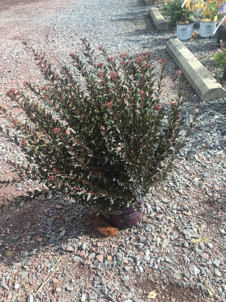 Physocarpus opul. Donna May Ninebark, Little Devil, #3
