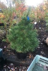 Pinus strobus Pine - Eastern White, #7