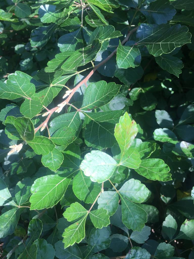 Rhus aromatica Gro-Low Fragrant Sumac, Gro-Low, #3