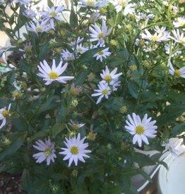Kalimeris incisa Blue Star Daisy, Blue Star, #1
