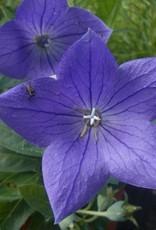Platycodon gr. Sentimental Blue Balloon Flower, Sentimental Blue, #1