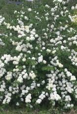 Viburnum plicatum Popcorn Viburnum - Japanese Snowball, Popcorn, #3