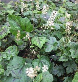 Tiarella cord. New Moon Motley Foamflower, #1