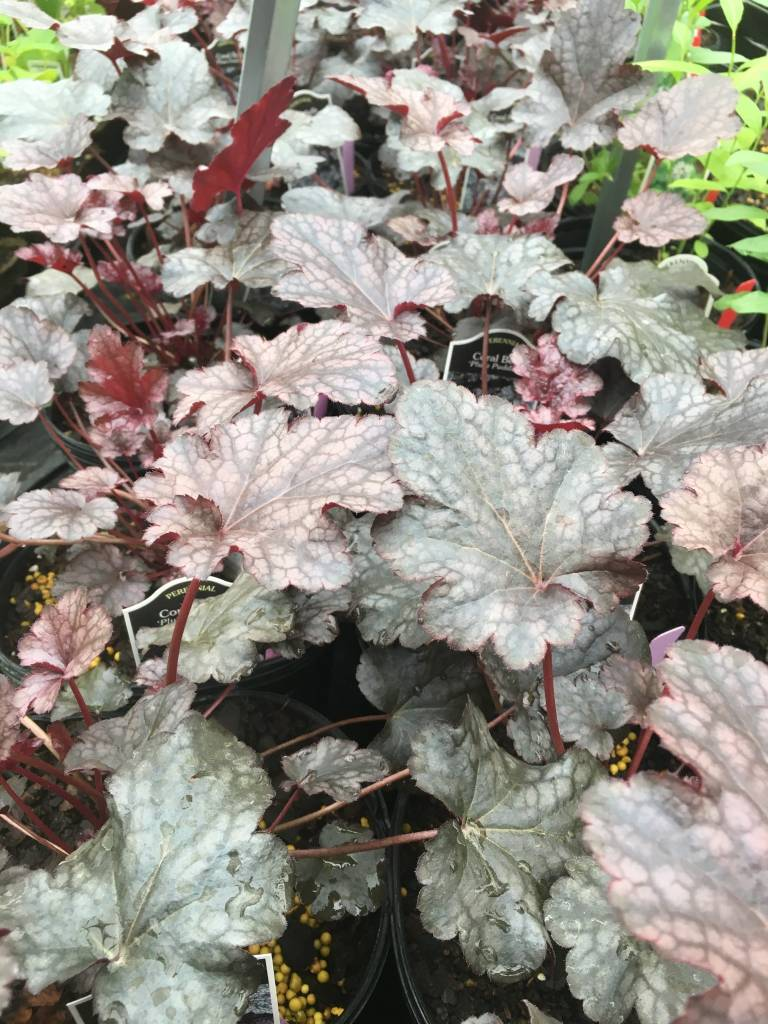 Heuchera x Plum Pudding Coral Bells, Plum Pudding, #1