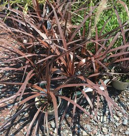 Cordyline, Red Star