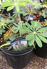 Lupinus perennis, Lupine, #1