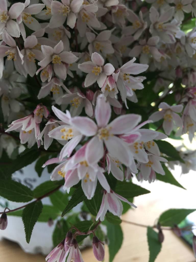 Deutzia NCDX2 Deutzia, Yuki Cherry Blossom, #3