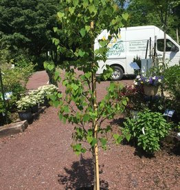 Cercis can. Ace of Hearts Redbud - Eastern, Ace of Hearts, #10