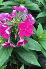 Phlox pan. Bambini Desire Phlox - Garden, Bambini Desire, #1
