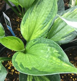 Hosta Whirlwind, Plantain Lily, #1