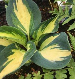 Hosta Beach Boy, Plantain Lily, #1