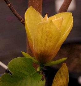 Magnolia x brooklyn. Judy Zuk- Hybrid magnolia, #7