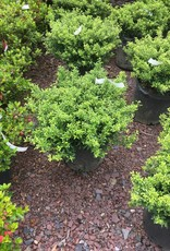 Ilex crenata Soft Touch Holly - Japanese, Soft Touch, #5