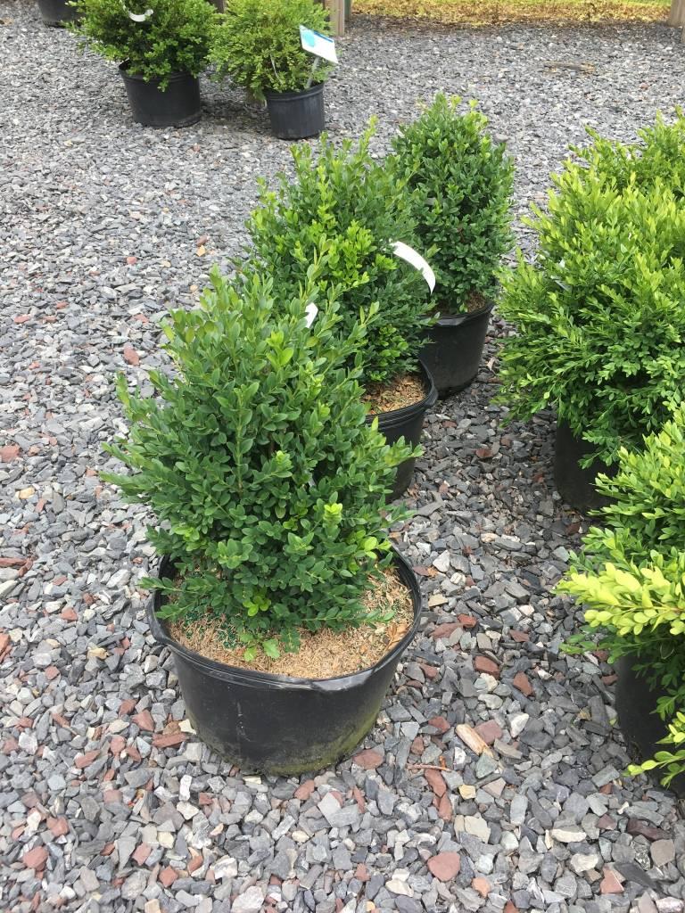 Buxus Green Mountain Boxwood, Green Mountain, #5