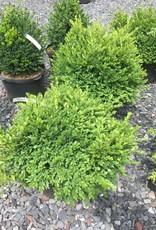Buxus Green Velvet Boxwood, Green Velvet, 18' #5