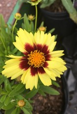 Coreopsis UpTick Yellow + Red Tickseed, #1
