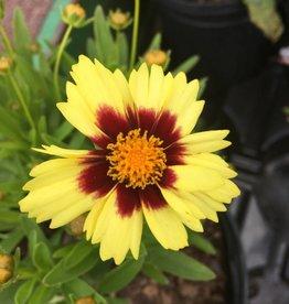 Coreopsis UpTick Yellow + Red Tickseed, #1