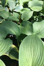 Hosta Blue Angel Plantain Lily, Blue Angel, #1