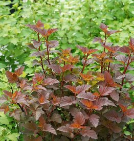Physocarpus opul. Ginger Wine Ninebark, Ginger Wine, #3