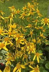 Senecio aureus/ Packera aurea, Golden groundsel, #1