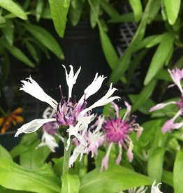 Centaurea montana Lavender Mist Batchelor's Button, Blue, #1