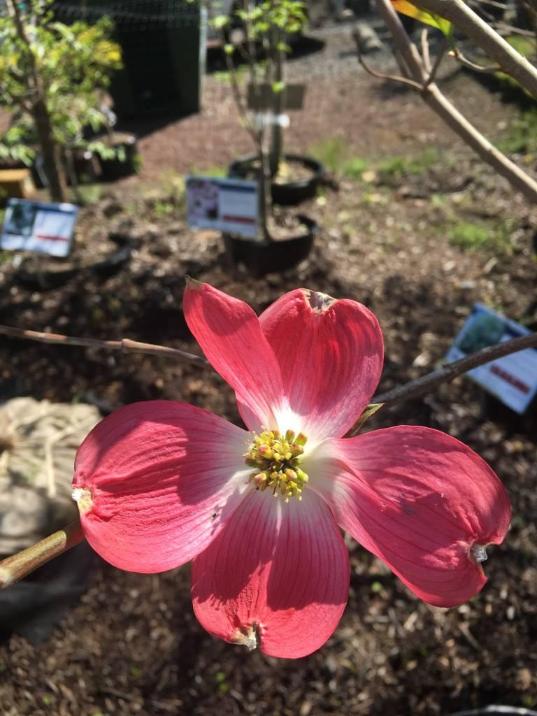 Cornus florida Cherokee Brave Dogwood - Flowering, Cherokee Brave, #15